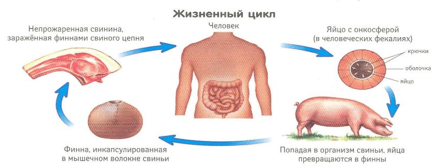 лечение_свиного_цепня